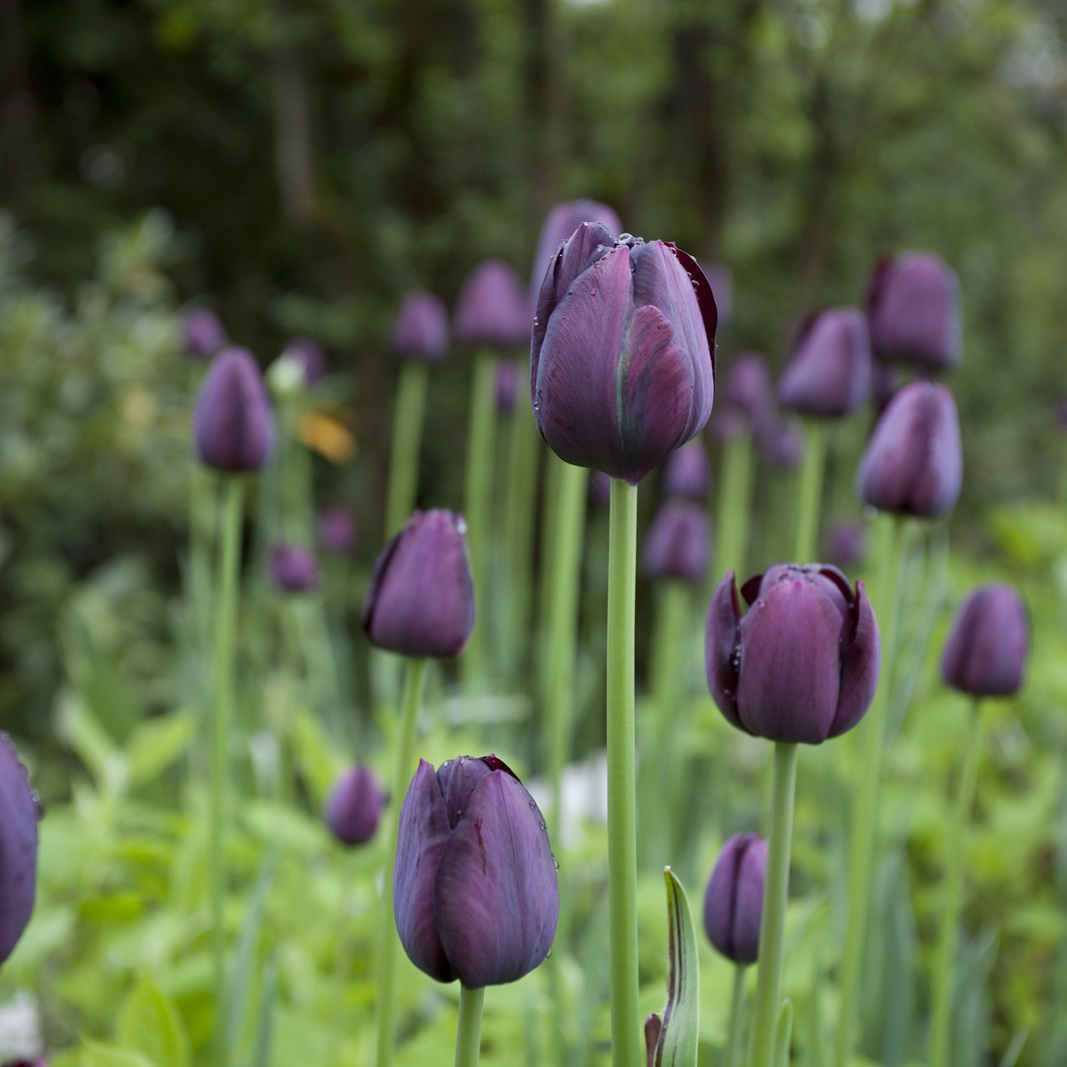 Tulpenblüte der Tulipa 'Queen of Night' in einem Privatgarten in Gräfelfing