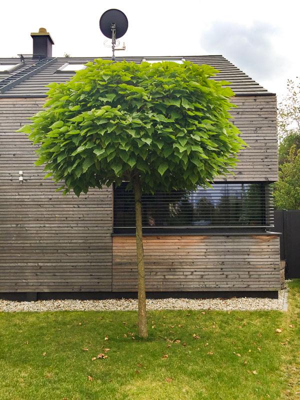 Der Kugel-Trompetenbaum wirkt etwas exotisch durch sein großes Blatt.