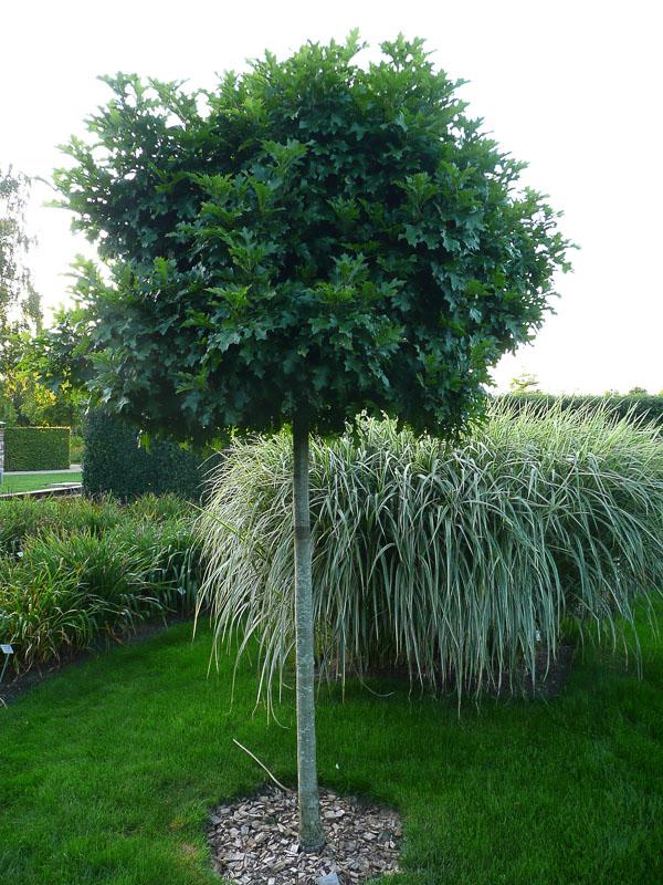 Quercus palustris Green Dwarf, die Zwerg-Sumpf-Eiche, wächst sehr langsam und bildet eine kleine Krone.