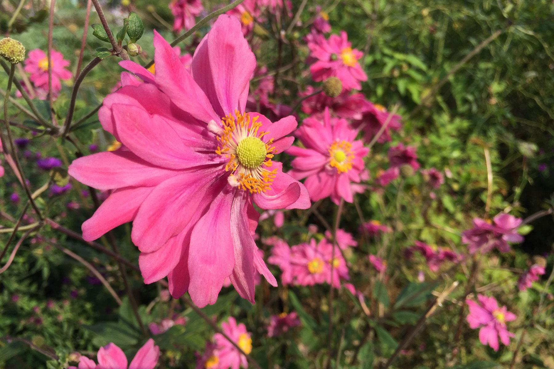 Herbstanemonen in Pink