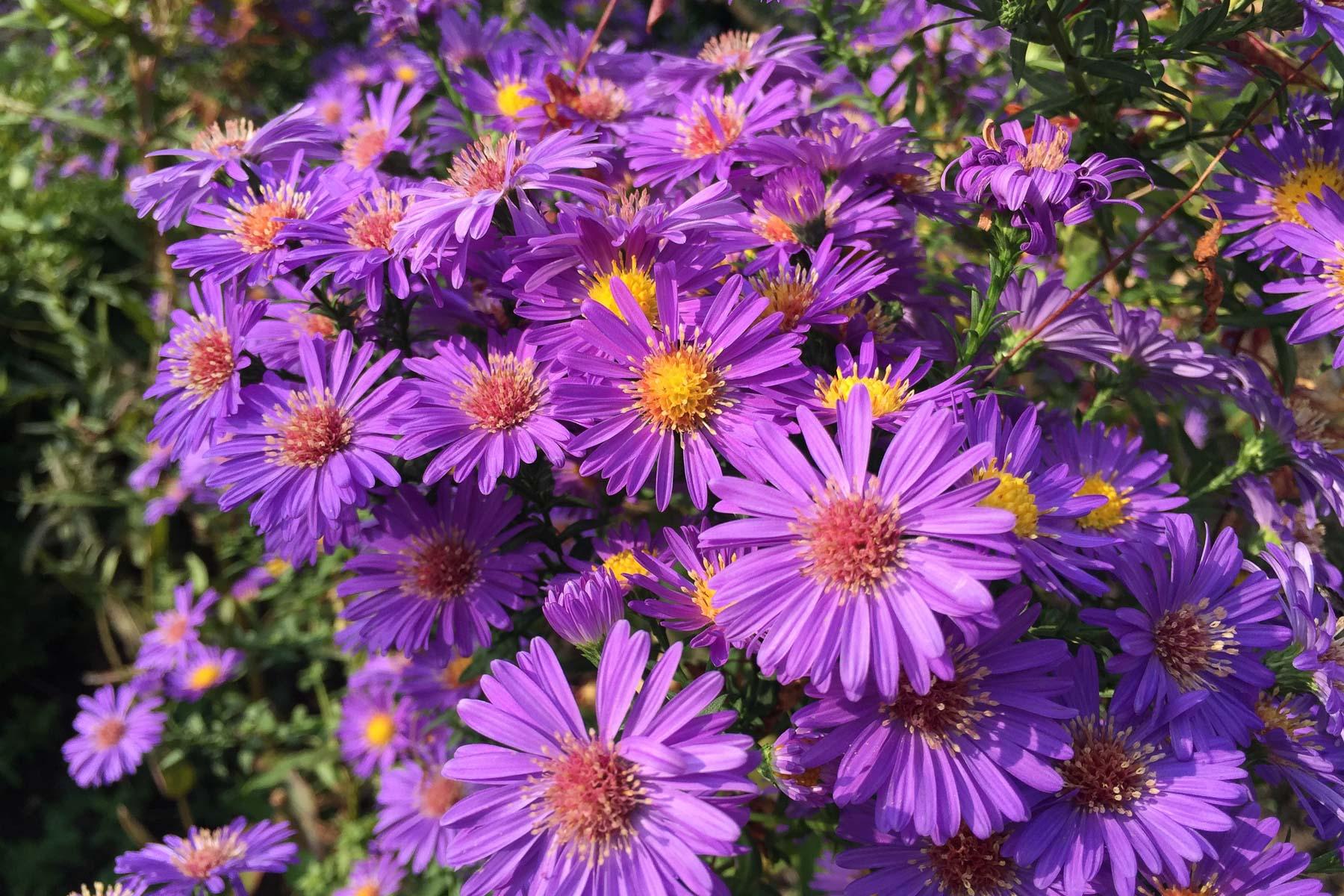 Aster in Violett