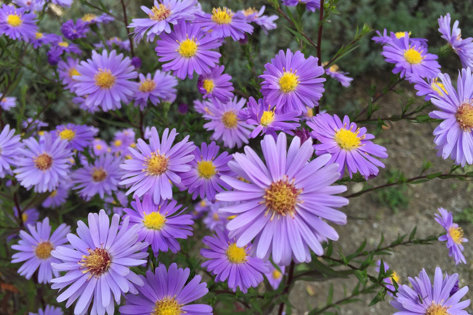 Aster in Lavendelblau