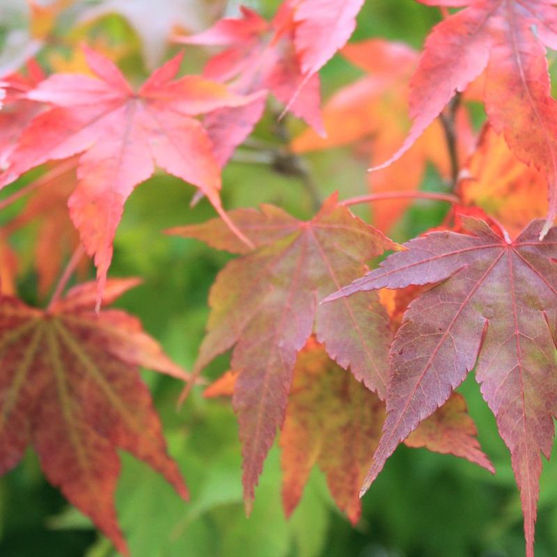 Der Fächer-Ahorn verfärbt sich im Herbst herrlich orangerot