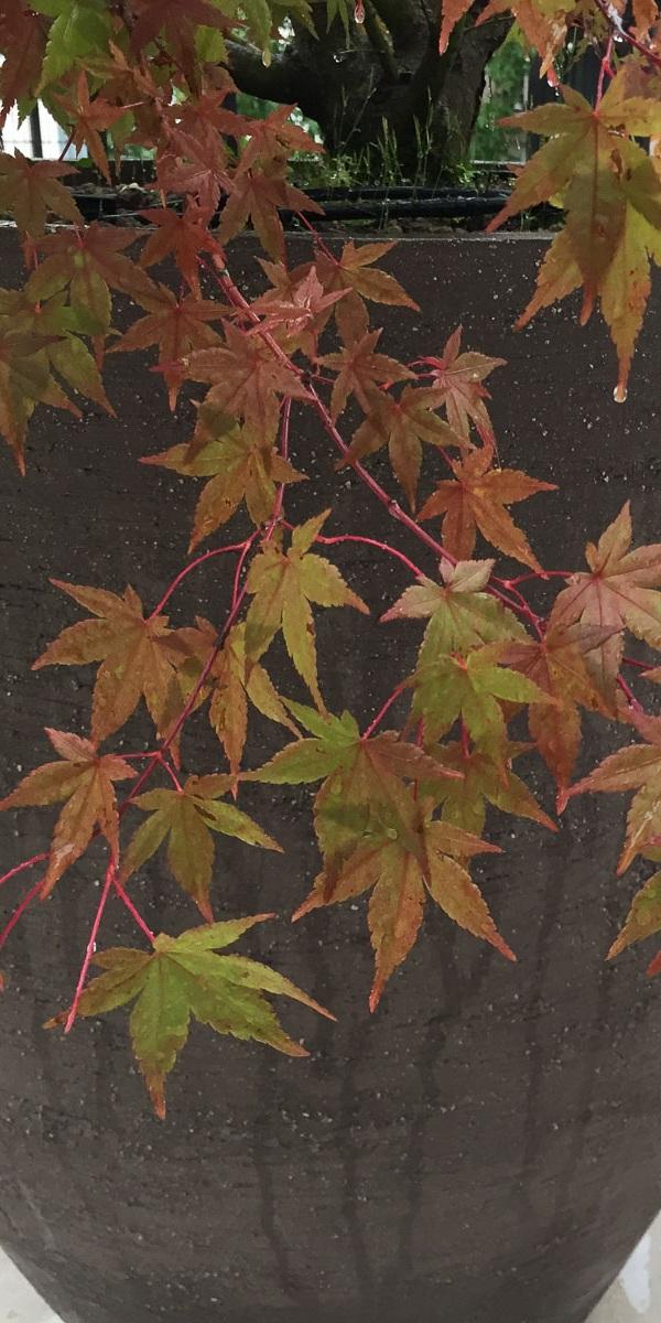 Ein Zier-Ahorn in herbstlicher Laubfärbung harmoniert mit dem natürlichen Material des Pflanzgefäßes.