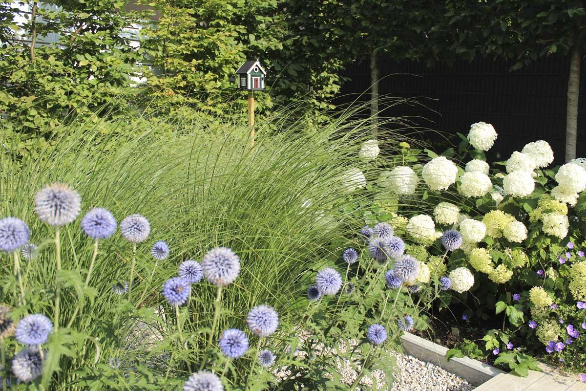 Die Form der Kugeldisteln spiegelt sich in den weißen Bällen der Hortensien wider