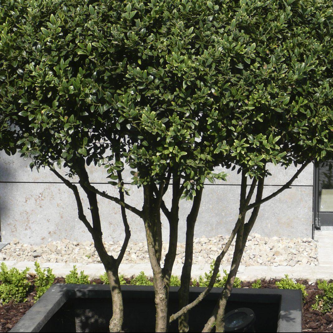 Buchsbaum in Schirmform als Containerbepflanzung, Beleuchtung von unten
