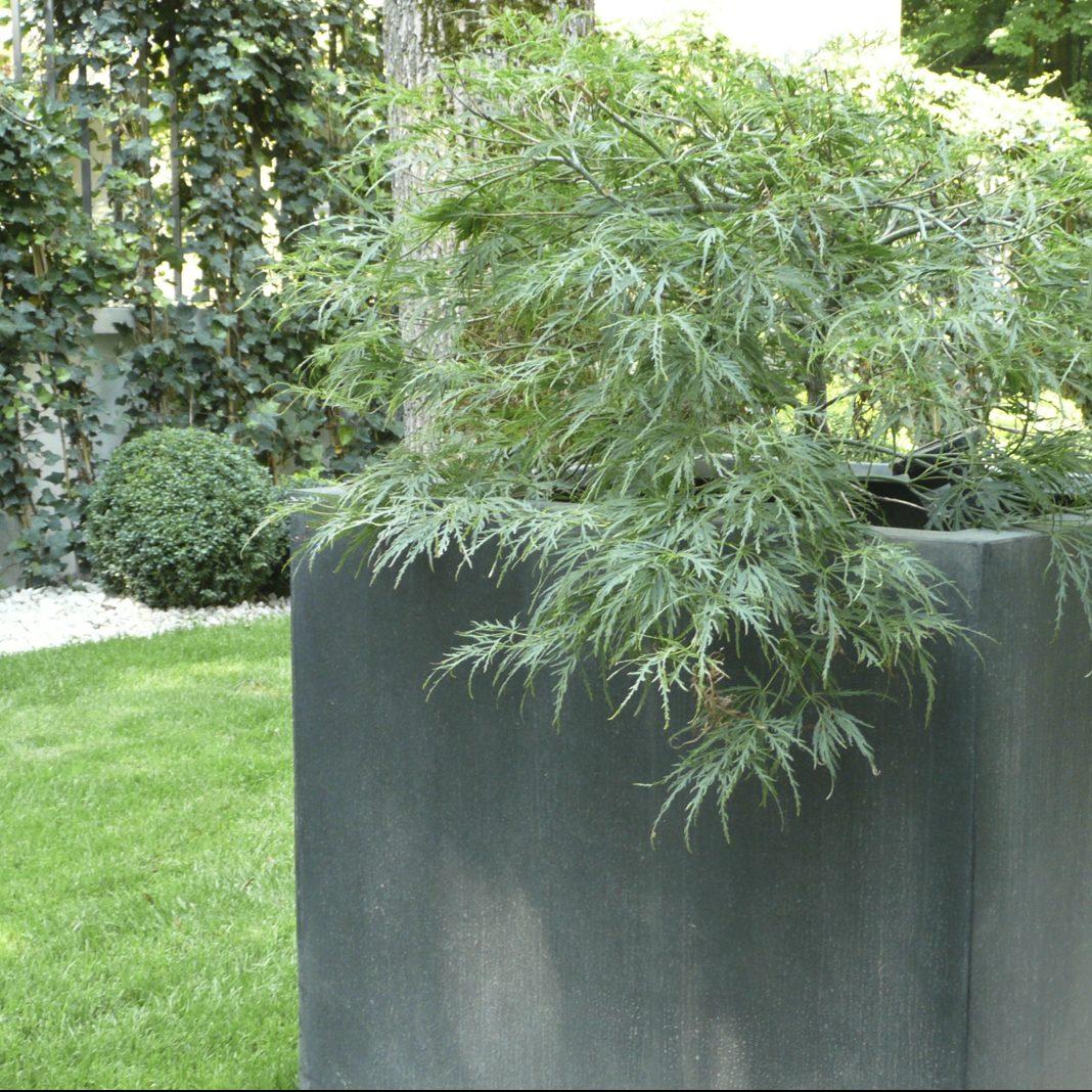 Grüner Schlitz-Ahorn als Containerbepflanzung