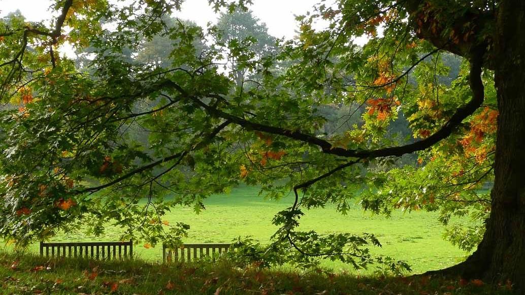Eine Eiche, Quercus robur, im Botanischen Garten von London
