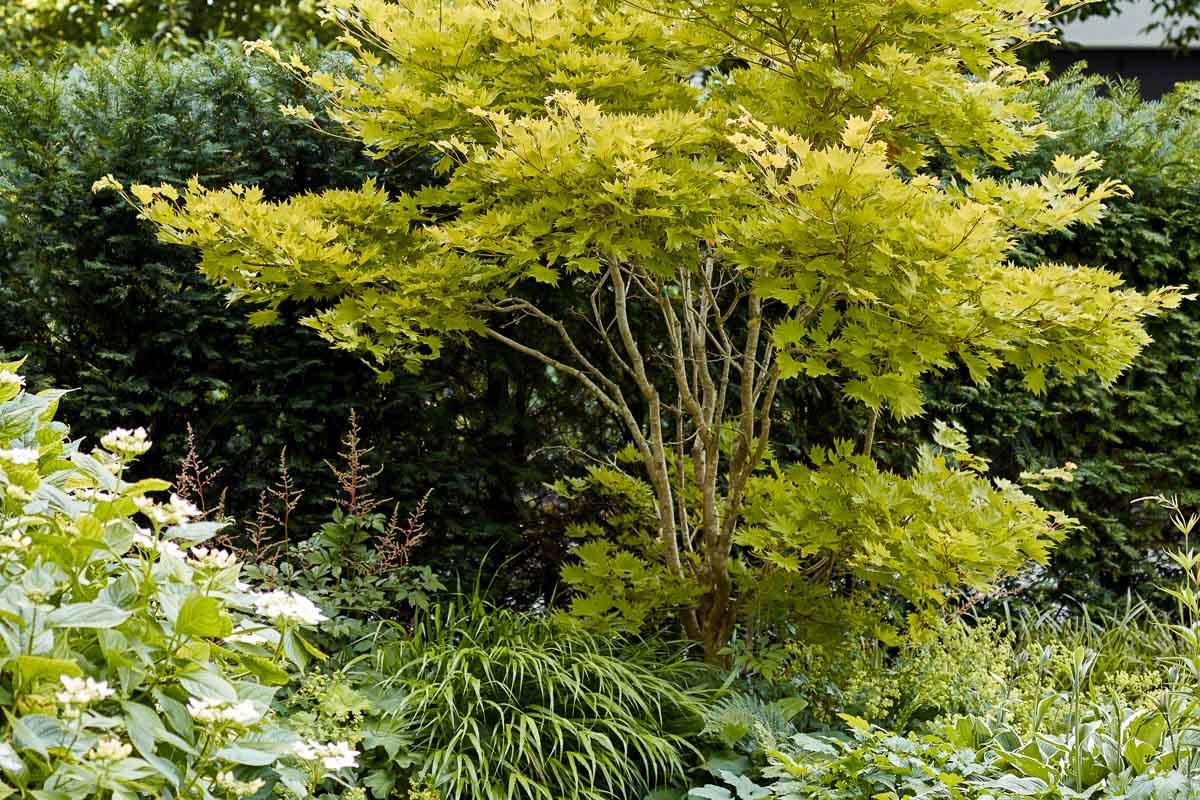 Acer shirasawanum 'Aureum', der Japanische Goldahorn, mit weicher Unterpflanzung von japanischem Bergwaldgras