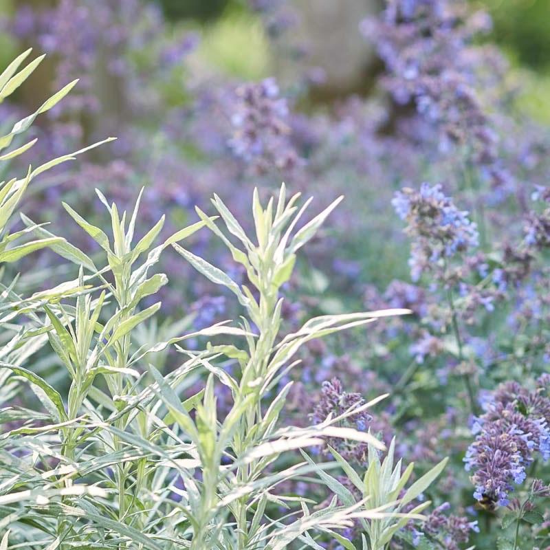 Der Beifuß, Artemisia ludoviciana 'Silver Queen', bietet mit silbrigem Laub auch vor der Blüte Struktur im Staudenbeet.