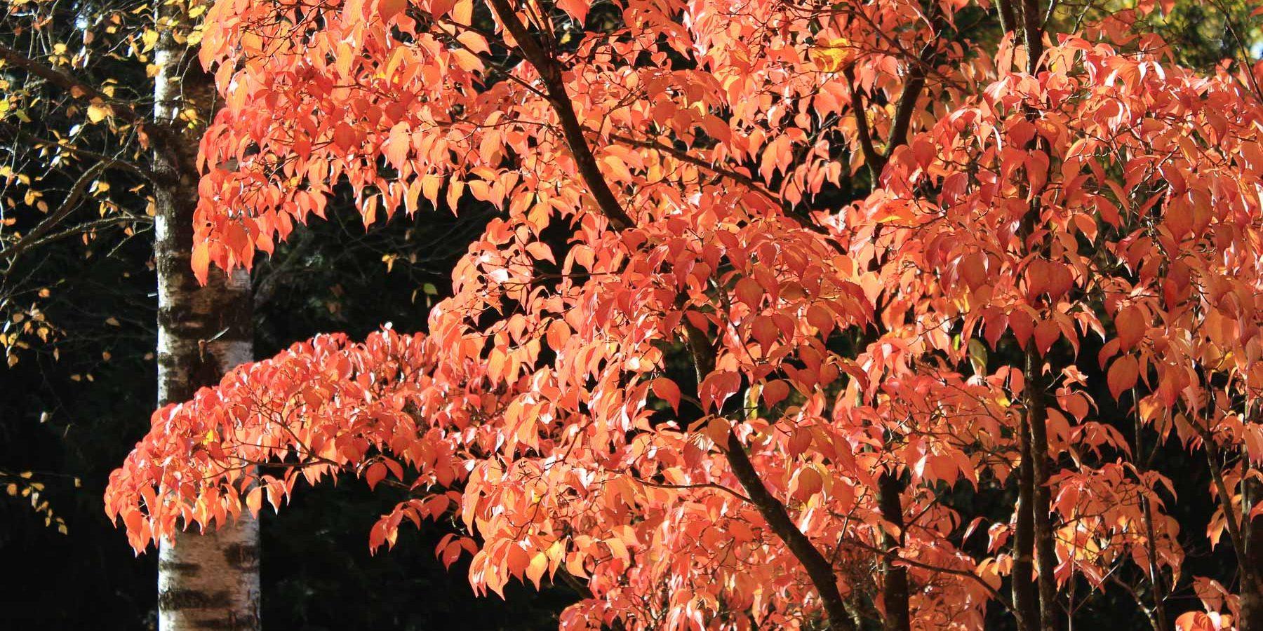 Leuchtende Herbstfärbung in Orange und Rot im Kontrast zu schwarzer und weißer Rinde