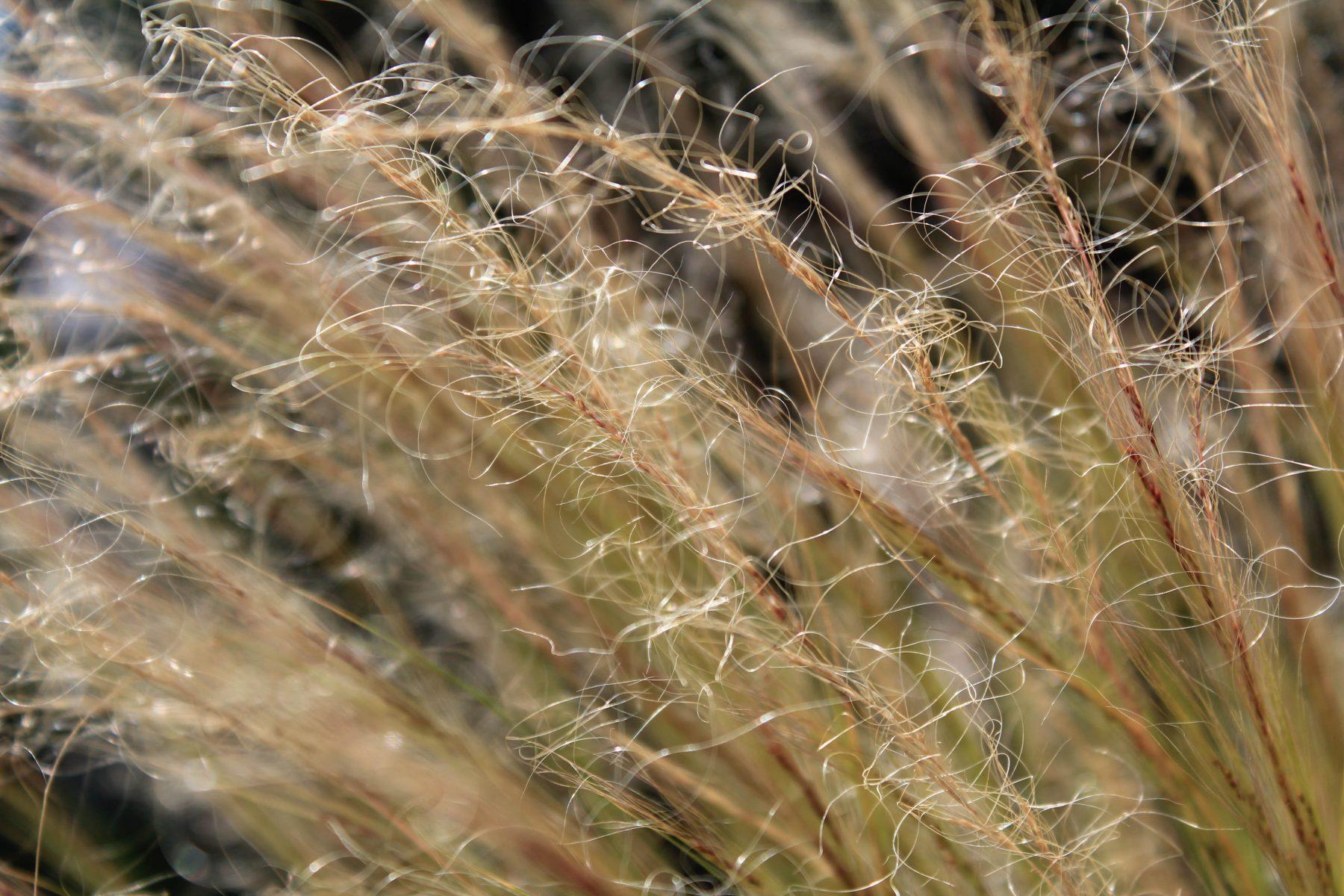 Stipa tenuissima, Engelshaar