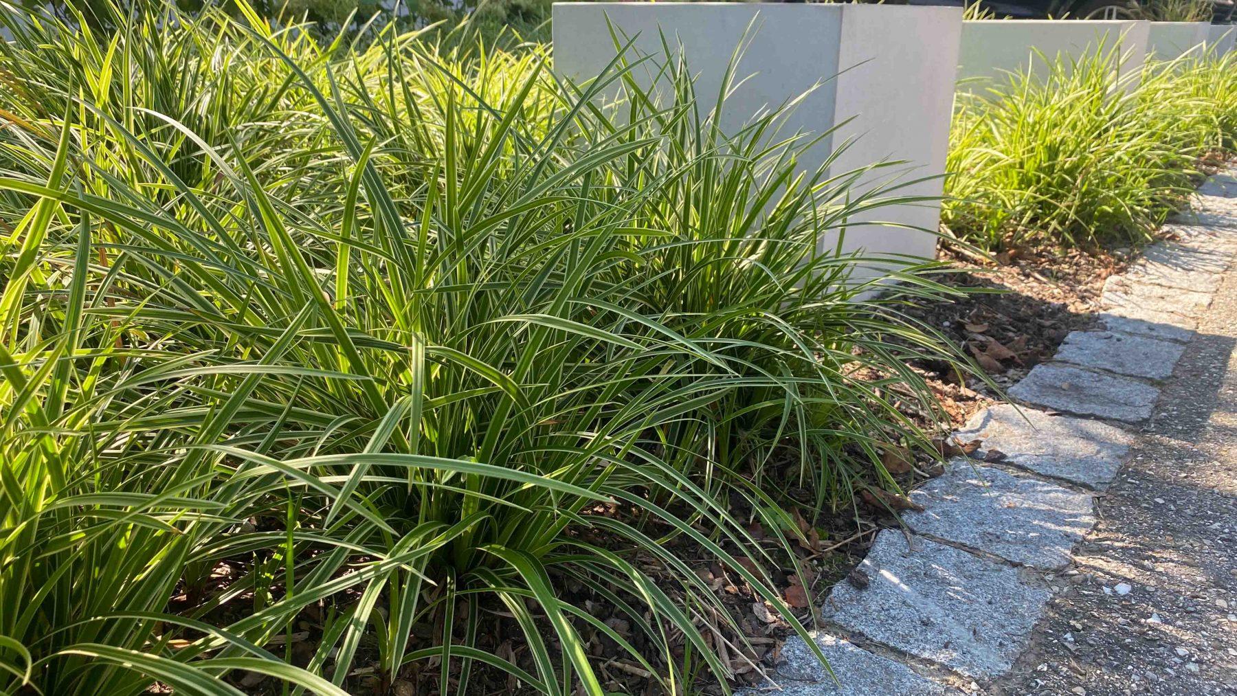 Immergrüne Ziergräser als Weichzeichner und Bodendecker, Carex foliosissima 'Icedance'