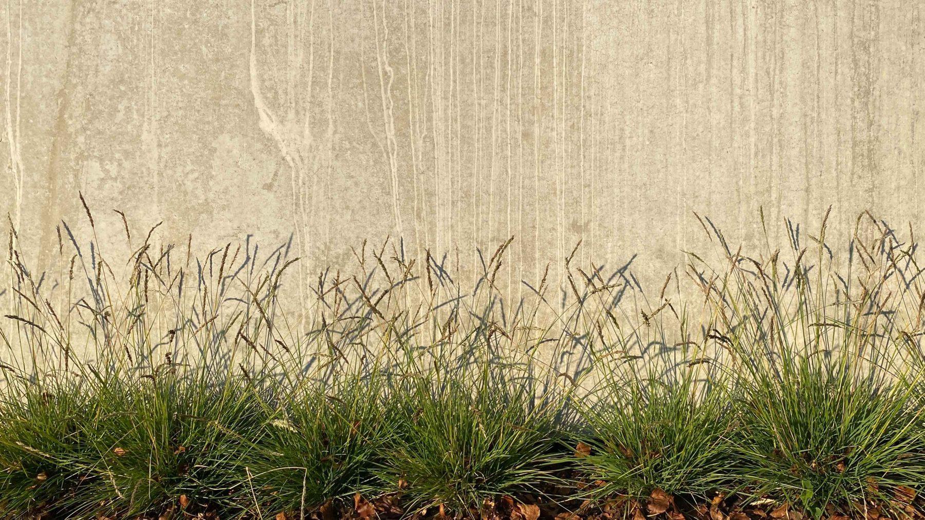 Sesleria autumnalis, das Herbstkopfgras, ist ein niedrig bleibendes immergrünes Ziergras.