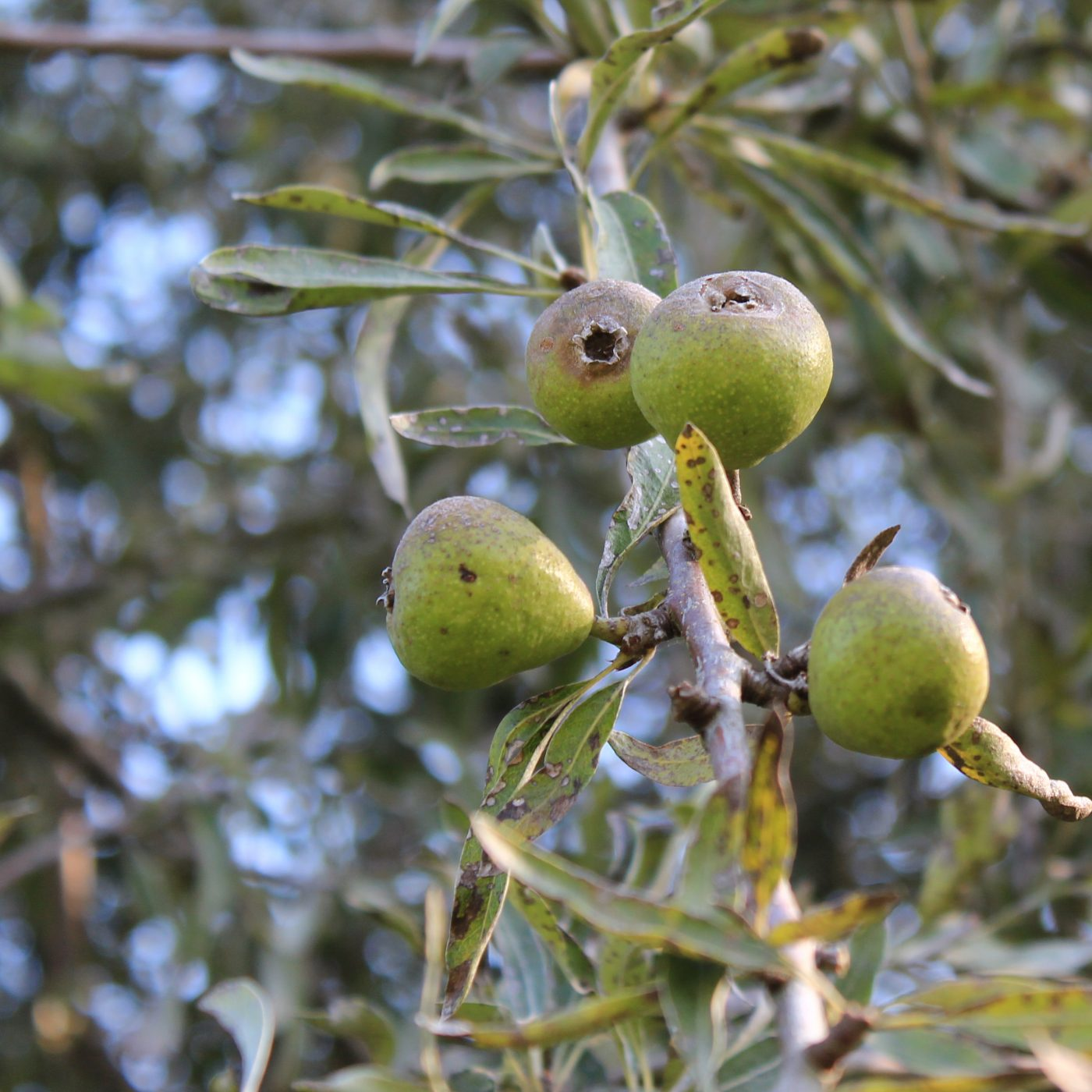 Früchte der weidenblättrigen Birne