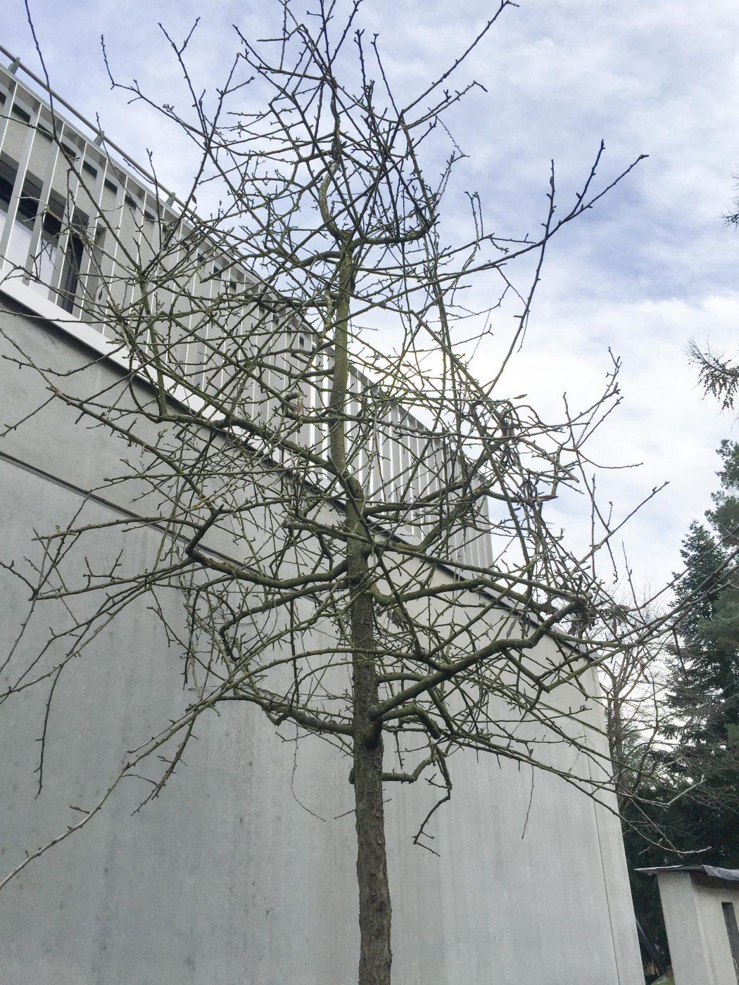 Weidenblättrige Birne, Pyrus salicifolia, mit ihrem sperrigen Astgerüst