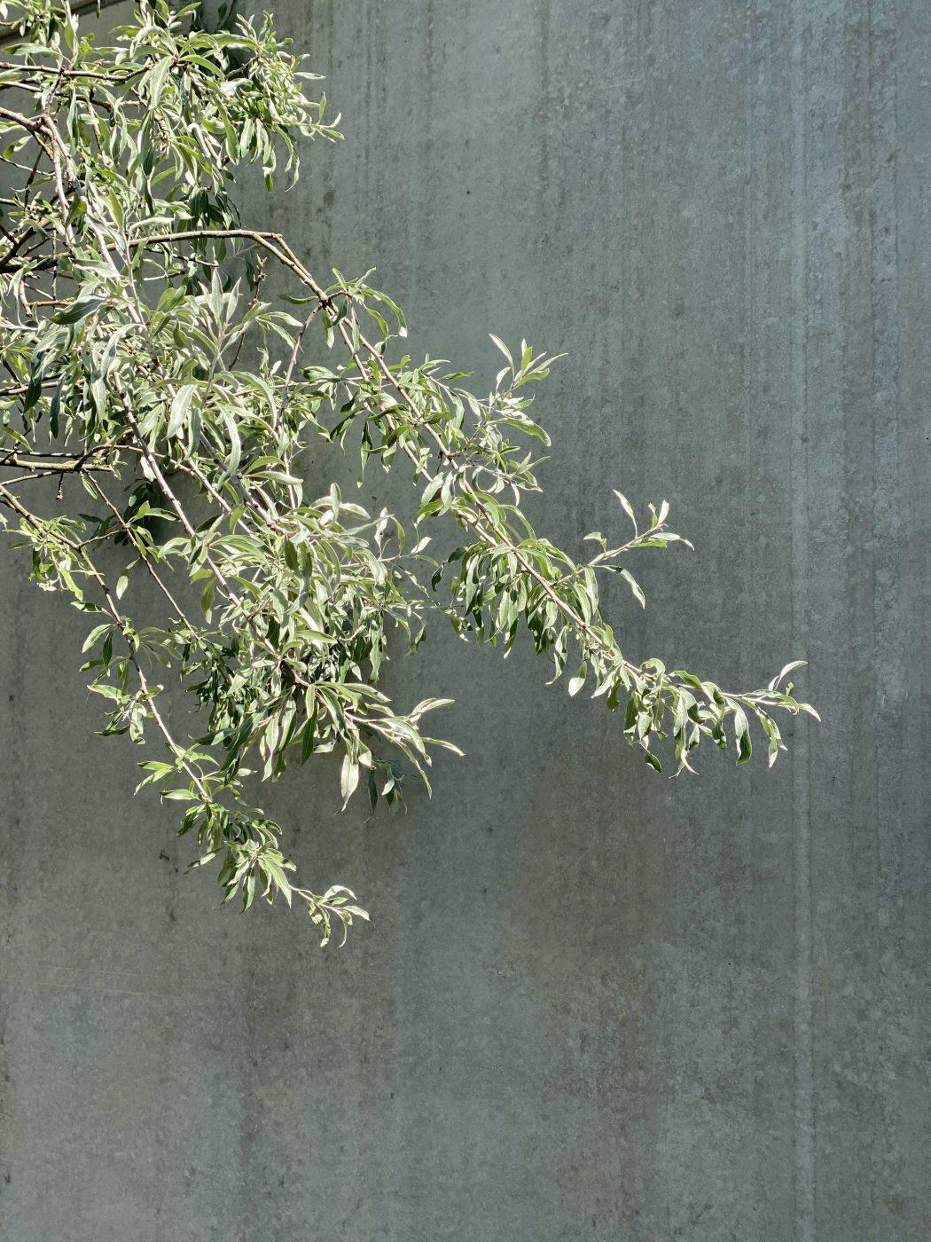 Weidenblättrige Birne, Pyrus salicifolia, mit silbergrauem Laub vor einer Mauer aus Sichtbeton