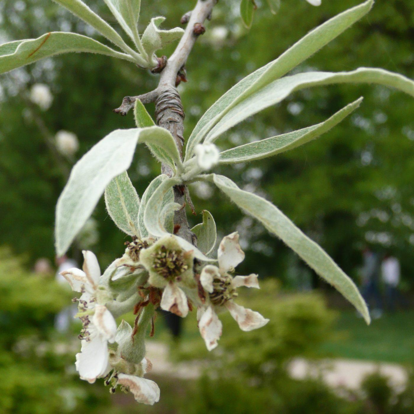 Weiße Blüten und silbriges feines Laub der Weidenblättrigen Birne, Pyrus salicifolia.