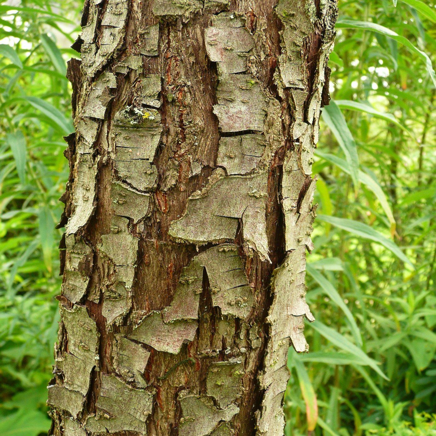 Die markante Rinde der Weidenblättrigen Birne, Pyrus salicifolia